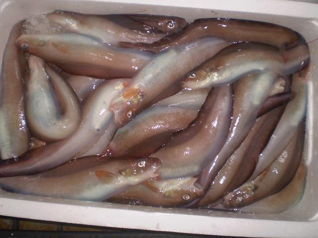 石川県産水魚/げんげ