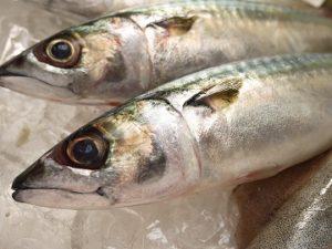 鮮魚マサバ金沢港